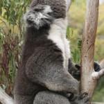 koala1