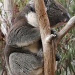 koala2