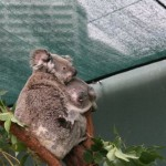 koalas_syd