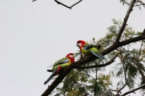 parrots
