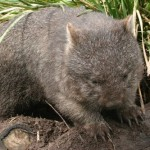wombat1