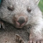wombat2