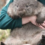 wombat3
